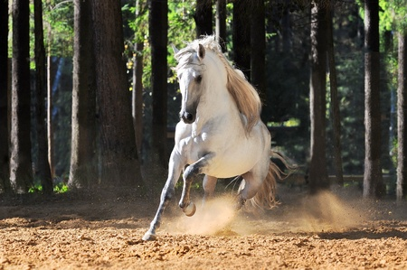 white horse: White andalusian horse runs gallop in summer