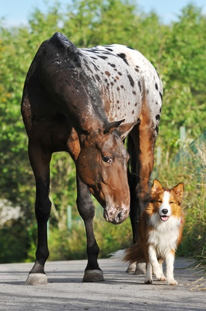 collie: Appaloosa horse portrait in summer with puppy border collie