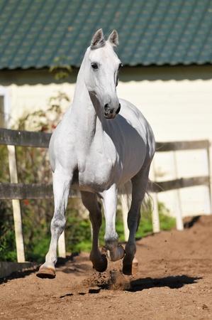 drafje: Wit paard Orlov draver loopt draf vrijheid in de zomer
