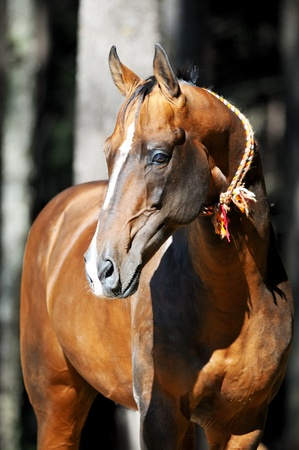 warmblood: golden dun akhal-teke horse portrait in summer