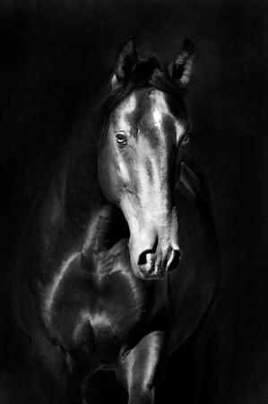cabeza de caballo: Retrato de caballo negro kladruby sobre la fotograf�a de fondo oscuro, blanco y negro