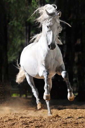 White andalusian horse runs gallop in summer photo