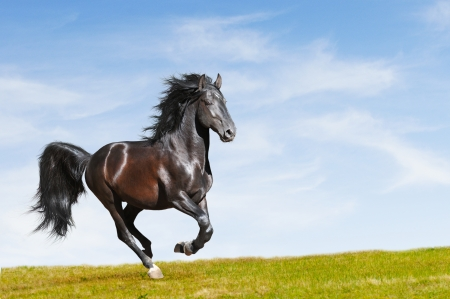 жеребец: Черный Kladruby лошадь галопом на ступень свободы