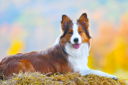young border collie dog lie on hay in autumn time Stock Photo