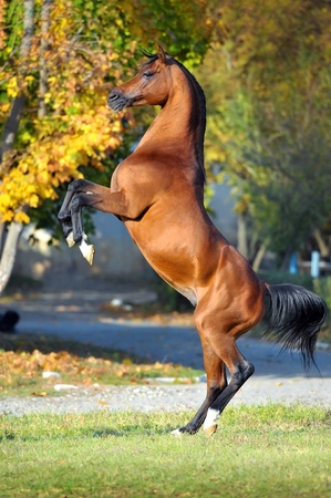 rearing: horse rearing up on golden autumn background