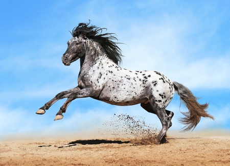 Horse Appaloosa color play on meadow in sky background Stock fotó