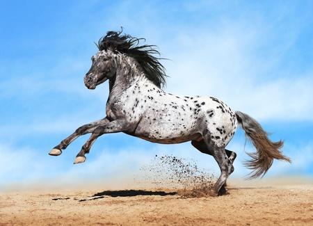 Paard Appaloosa kleur te spelen op de weide in hemel achtergrond