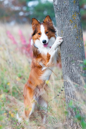 border collie puppy and the tree in autumn time photo