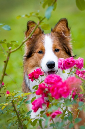 border collie: border collie puppy and roses in autumn time