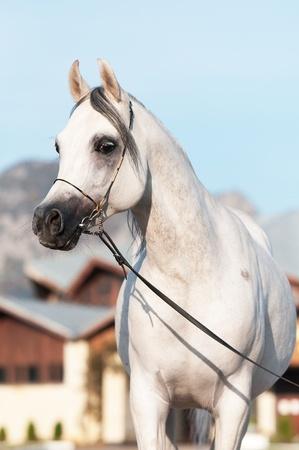 arabian horse: white arabian horse stallion portrait in summer