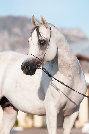 bridle: white arabian horse stallion portrait in summer