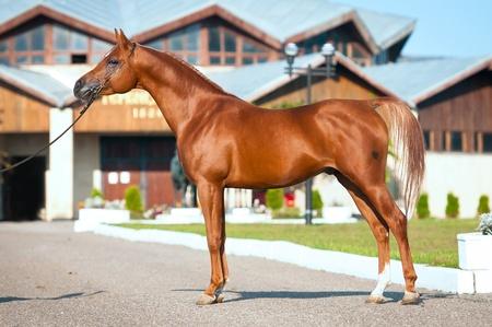 red horse: exterior of chestnut arabian horse stallion in summer Stock Photo