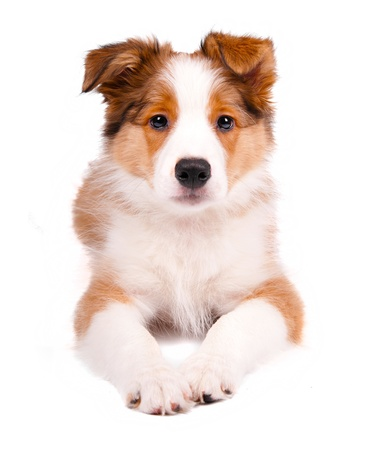 puppy of the border collie dog on the white Stock Photo