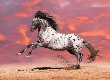 Caballo Appaloosa color jugar en el prado en el fondo blanco Foto de archivo