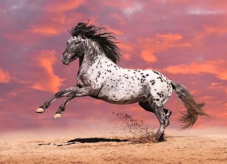 Paard Appaloosa kleur te spelen op de weide in de witte achtergrond Stockfoto
