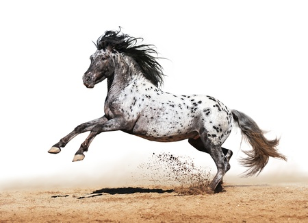 Horse Appaloosa color play on meadow in white background Stock Photo