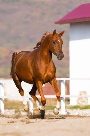 chestnut male: chestnut arabian horse runs gallop on freedom