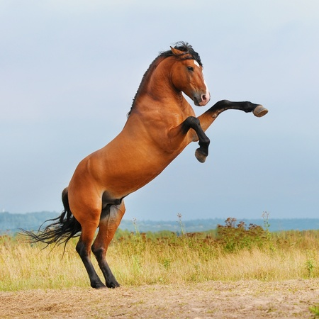 bay horse rearing up on the meadow in summer Stock Photo