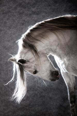 white Andalusian horse on the dark background, studio shot photo