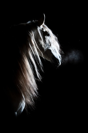 thoroughbred: white Andalusian horse on the dark background, studio shot