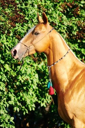 golden horse akhal-teke portrait in summer photo