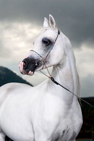 stable: white arabian horse on the storm background, studio shot