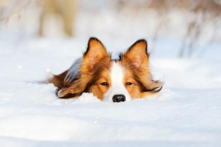 enero: Border collie cachorro de 1 a�o de edad en el invierno