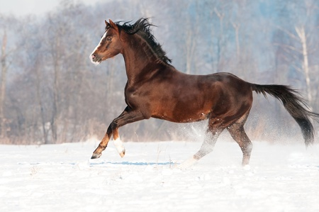 Brown welsh pony stallion in winter runs gallop Stock Photo