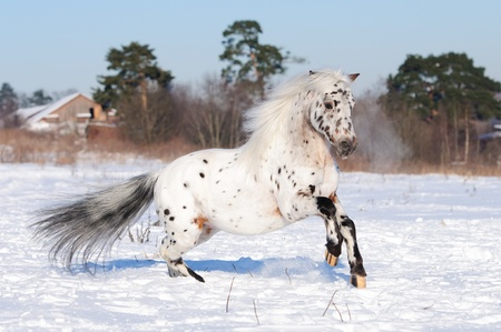 Appaloosa pony runs gallop in winter time