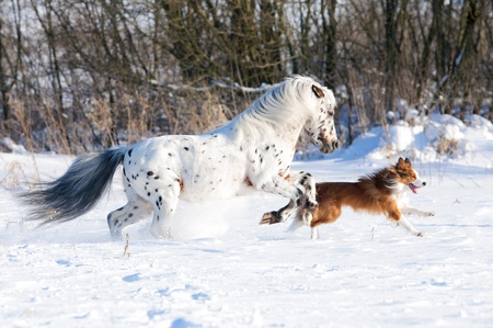 snow field: Appaloosa pony and sable border collie runs gallop in winter