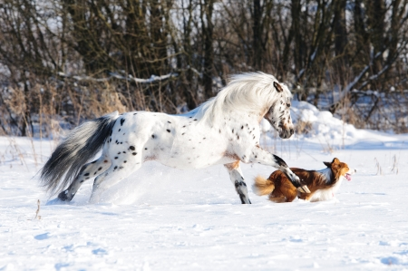 sable: Appaloosa pony and sable border collie runs gallop in winter