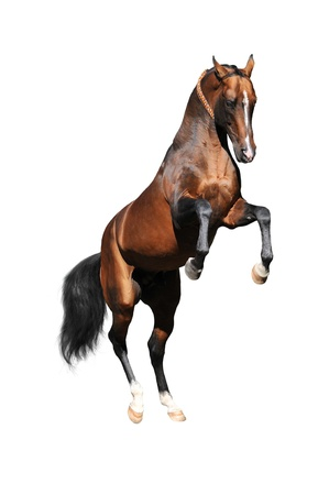 bay Akhal-teke stallion rearing up isolated on white photo
