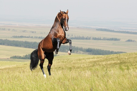 rearing: bay akhal-teke horse stallion rearing on the field