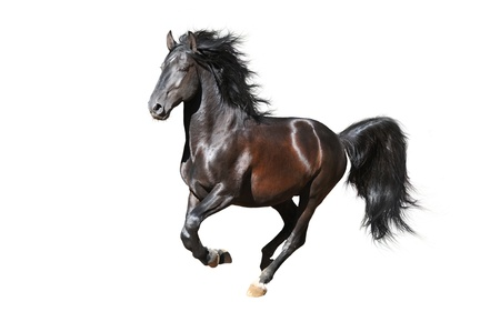 warmblood: Black Kladruby horse runs gallop, isolated on white Stock Photo