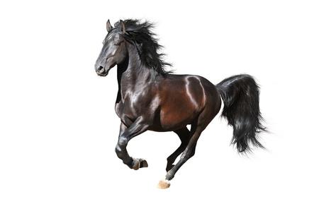 caballos negros: Caballo Negro Kladruby corre al galope, aislado en blanco