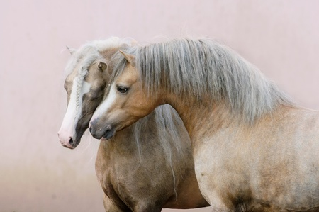 two Welsh ponies love on pink wall background 写真素材