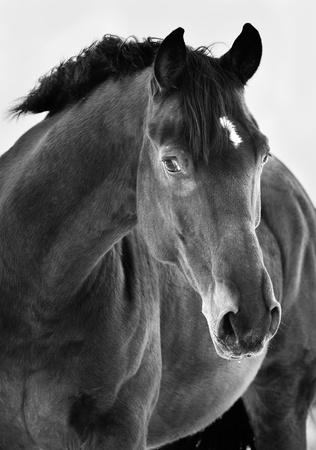 black horse: Retrato del caballo negro sobre fondo gris, negro y fotografías en blanco Foto de archivo
