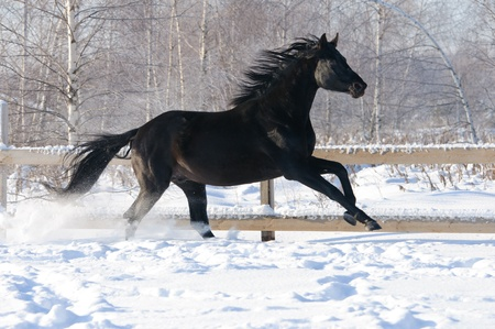 thoroughbred: Black Russian riding horse runs gallop in winter Stock Photo
