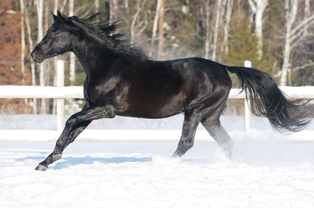 galloping: Black Russian riding horse runs gallop in winter Stock Photo