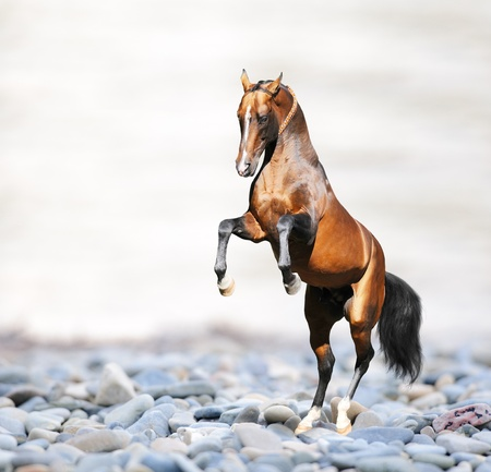 rearing: Bay akhal-teke horse on the rocks on the sea, collage Stock Photo