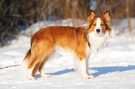 Sable  red  border collie standing on the snow in winter