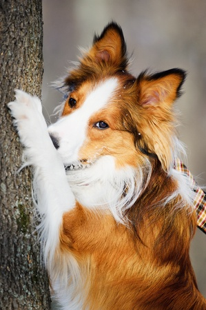 sable: Red  sable  border collie and tree, close up Stock Photo
