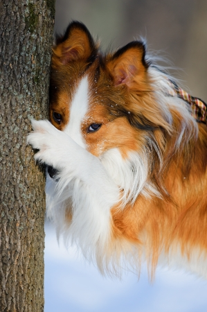 border collie puppy: Red border collie and tree, close up