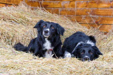 collies: Two black and white border collies lying on the hay Stock Photo
