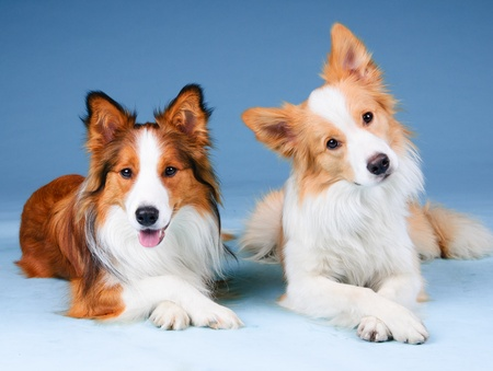 border collie puppy: Two border collies in studio, training dogs
