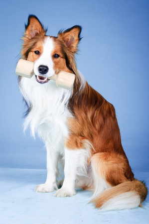 Sable and white border collie portrait in studio, training dog  aport  photo