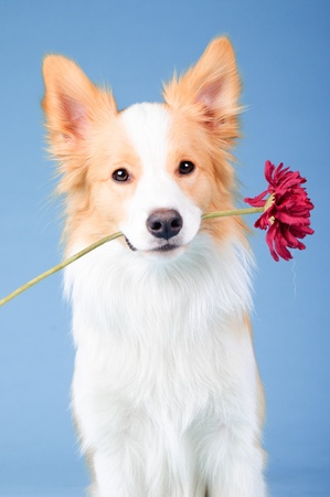 Red and white border collie portrait in studio, trick with flower photo