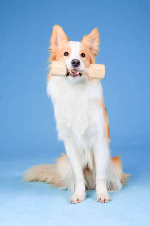 Red and white border collie in studio, training dog  aport  photo