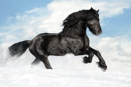 black horse: Negro caballo Frisón corre al galope en la nieve Foto de archivo