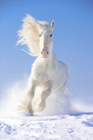 White Shire horse stallion runs gallop in front focus
